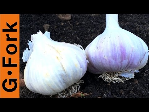 How To Plant Garlic The Simple Way - GardenFork