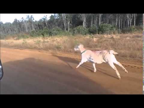 An excited Australian training a goat to run really fast