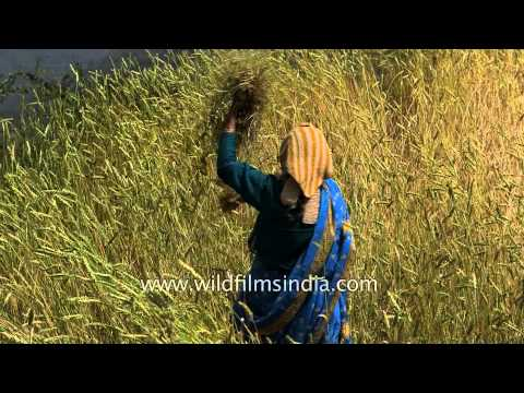 Kumaoni women working in a wheat field