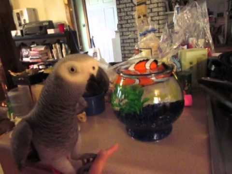 African Grey Parrots meet Nemo the Fish