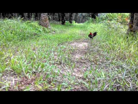Pikat ayam hutan 2015