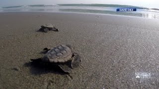 New Lights Installed Along Florida's Coastline To Protect Baby Sea Turtles | NBC Nightly News - NBCNEWS