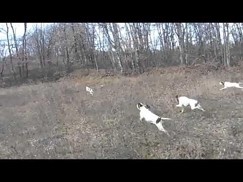 chasse au lièvre ariégeois