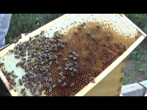 Beekeeping Death of a Hive Robbing by Yellowjackets