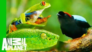 Impressive Creatures From The Costa Rican Jungle - ANIMALPLANETTV