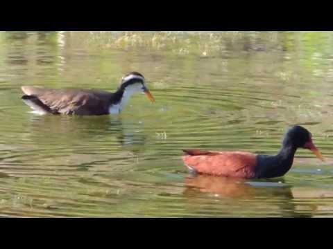 Aves de Venezuela - Aves de Barinas 5