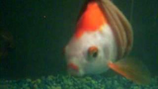 صور وفيديو إنقاذ سمكة ذهبية من الموت بكرسي متحرك!