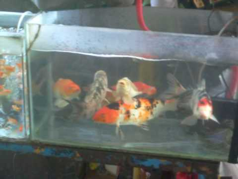 Cebu's Ornamental Fish Vendor