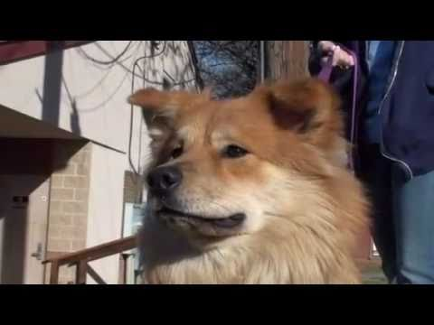 Pet of the Week Sandy collie chow mix