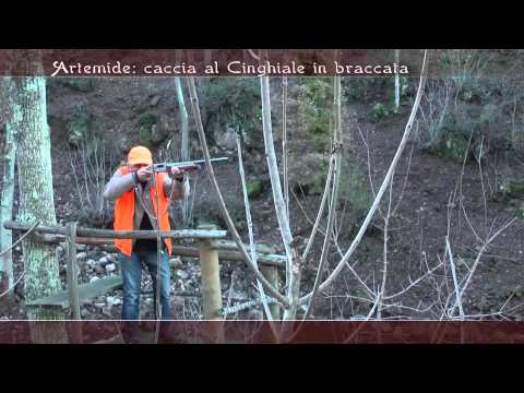 11 Artemide Caccia al cinghiale in braccata    Argentario 2012 2013