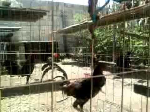 gallos de corta en pluma