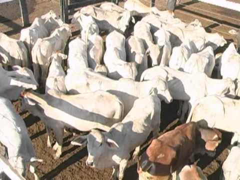 Aumenta o número de abates de bovinos em Mato Grosso