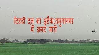 टिडडी दल का अटैक:यमुनानगर में अलर्ट जारी