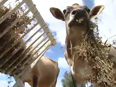 Manejo alimentar de vacas em lactação e recria de novilhas