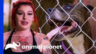 Playful, Loveable Pit Bull Coco Yields Zero Adoption Applications | Pit Bulls &Parolees - ANIMALPLANETTV