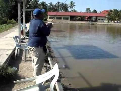 Penangan siakap kolam Jugra sport fishing...2012.