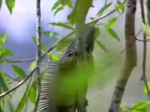 Green Iguana Documentry Part 2