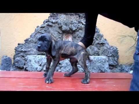 Fila Brasilero Hembra 5. Cachorros fila brasileiro en venta, Hermosos cachorros 01(55)84885050