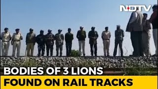 Three Asiatic Lions Run Over By Goods Train In Gir - NDTV