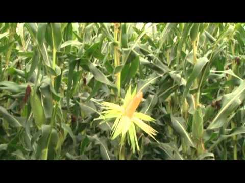 SIEMBRA Y COSECHA TV: Fertilización para el cultivo de maíz