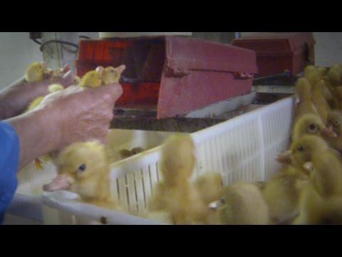 DEBES VERLO: Video secreto revela el espantoso abuso animal en una granja industrial de patos