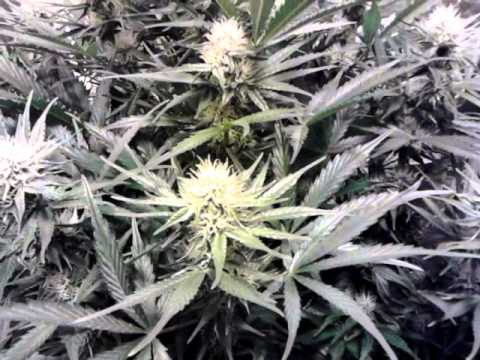Dina fem white widow auto flower cannabis day 48