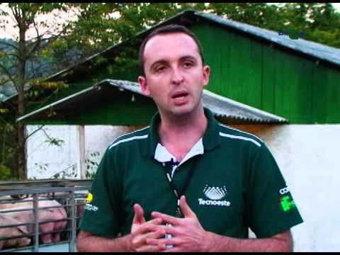 Bem-estar suíno no manejo pré-abate - Dia de Campo na TV