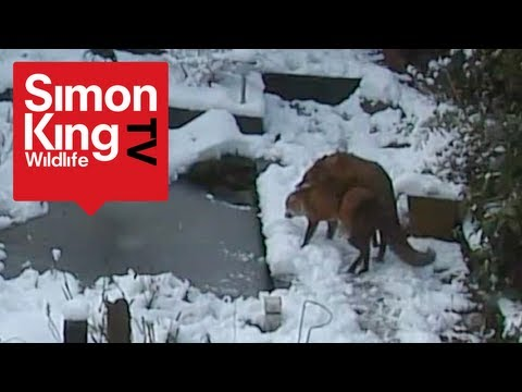 Foxes mating. Very rare footage! Fascinating behaviour!