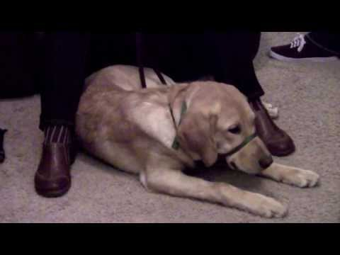 Guide Dogs for the Blind Puppy Raising - Sarah White