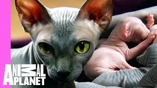 Bald & Beautiful: Sphynx Kittens | Too Cute! - ANIMALPLANETTV