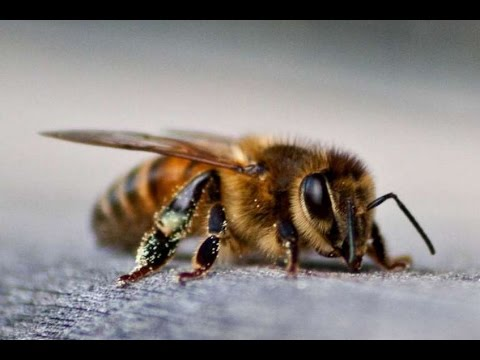 El veneno de abeja, el secreto de las famosas