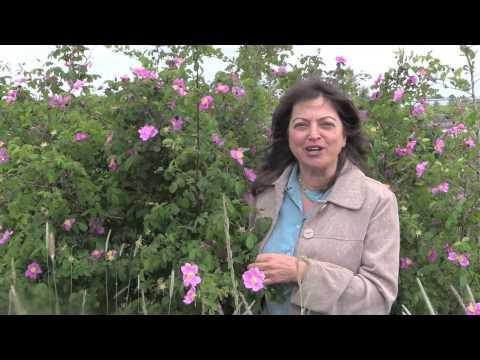Aromatherapy Basics with Kathi Keville: Roses