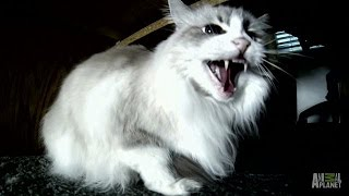 Whether You Laugh or Cry, Symone Is Not Amused | My Cat From Hell - ANIMALPLANETTV