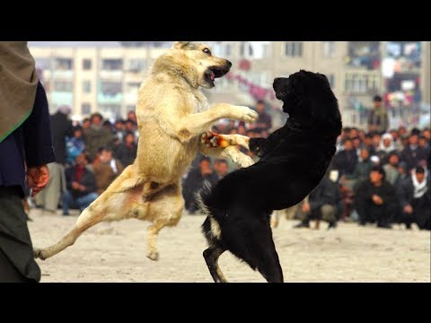 Attending Dog Fights is Now a Federal Crime