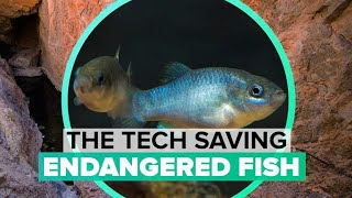 How tech is keeping endangered desert fish alive - CNETTV