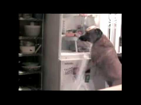 Dog Goes To Town Raiding Fridge