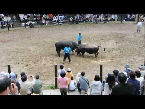 山古志村 牛の角突き・闘牛大会1