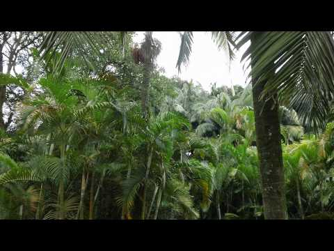Jungle Treescape Scenery [Sao Paulo, Brazil] 1080p HD Relaxing Scenery