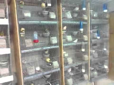 canary 2011 season. canary room ,canary breeding