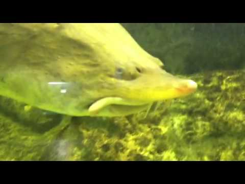 лов осетра на каспии видео