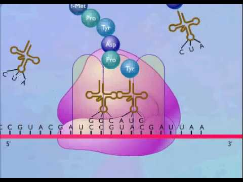 Protein Synthesis Animation Video