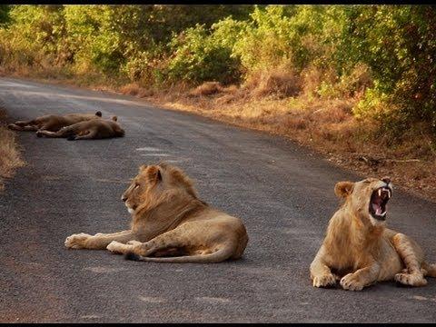 Cómo un niño africano derrotó a los leones.