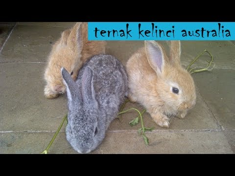 Ternak Kelinci: Ternak Kelinci Australia Memang Mantab