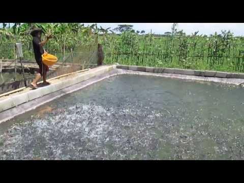 Kolam Lele 10.000 Ekor ( Hendrik Fish Farm )