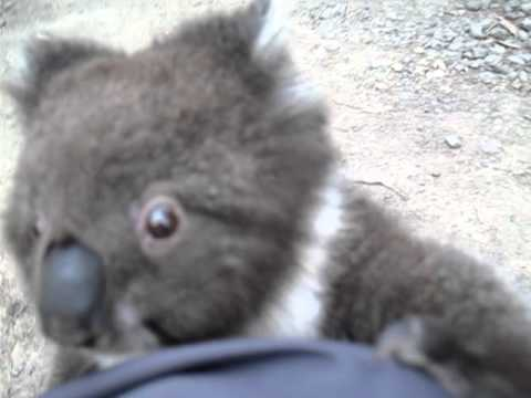 Koala climbs up my leg for a cuddle