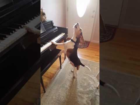 Hund spielt Klavier und singt