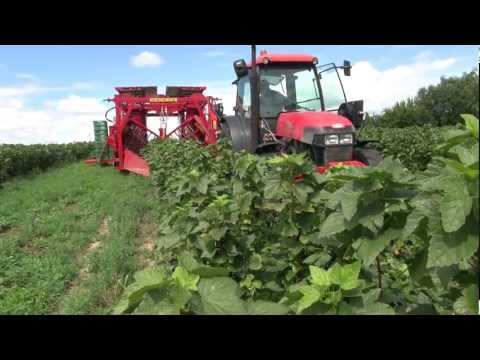 Kombajn VICTOR-Z, black currant harvester - season 2012