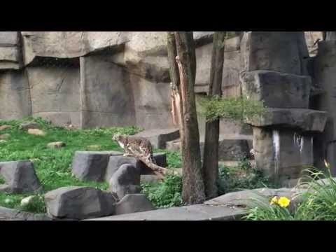 Snow Leopards Frolicking at the Brookfield Zoo