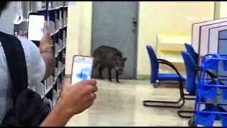 بالفيديو: لحظة اقتحام خنزير بري لمكتبة بجامعة ماليزية