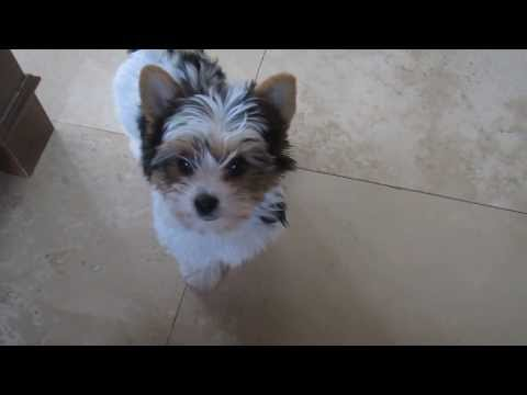 Biewer Yorkshire Terrier 4 Sale